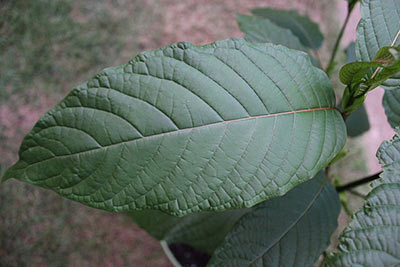 What Is Kratom - credit: thorporre